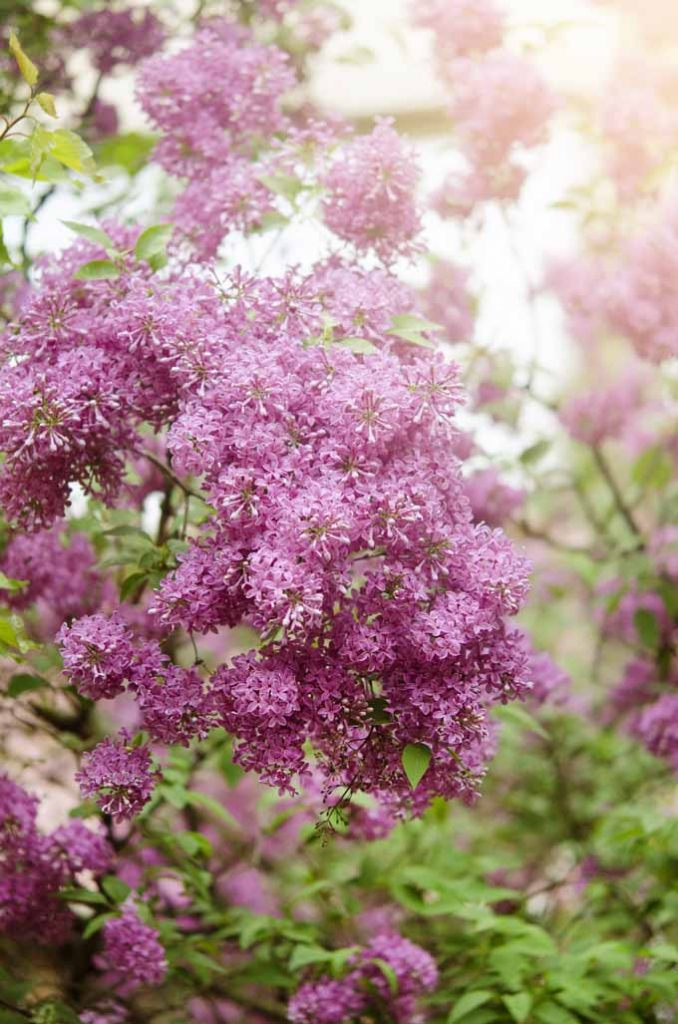 Do yo love the sweet smell of lilacs but unsure about how to grow them? If so, check our our detailed guide here Gardener's Path.