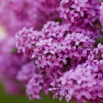 Growing Delicately Blooming Lilacs | GardenersPath.com