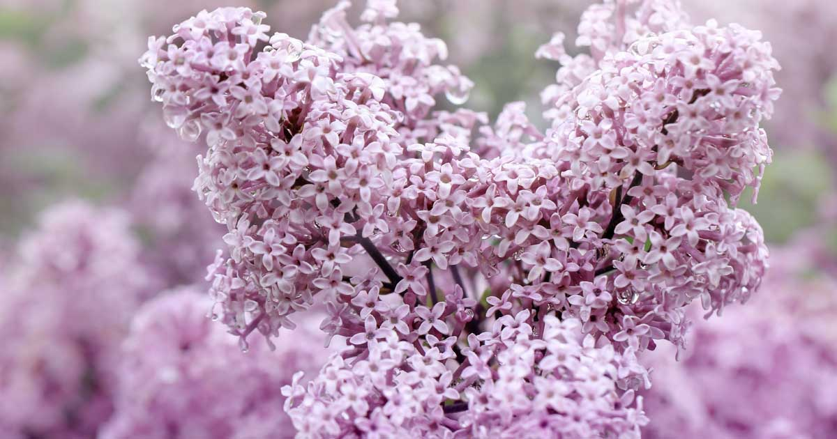 How To Grow Delicately Blooming Lilacs Gardener S Path