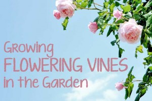 Growing Flowering Vines in the Garden
