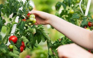 Growing Tomatoes: a Summer Staple