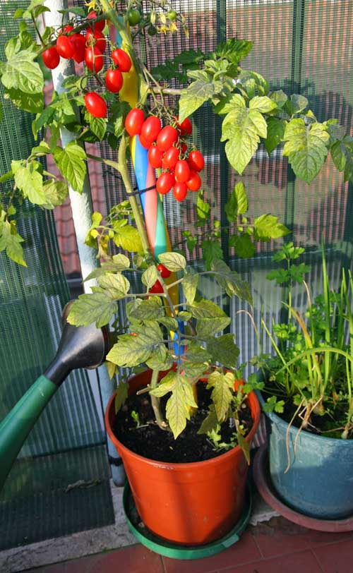 Growing tomatoes in containers | Gardenerspath.com