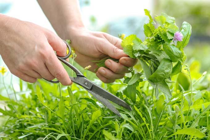 Harvesting Herbs | GardenersPath.com