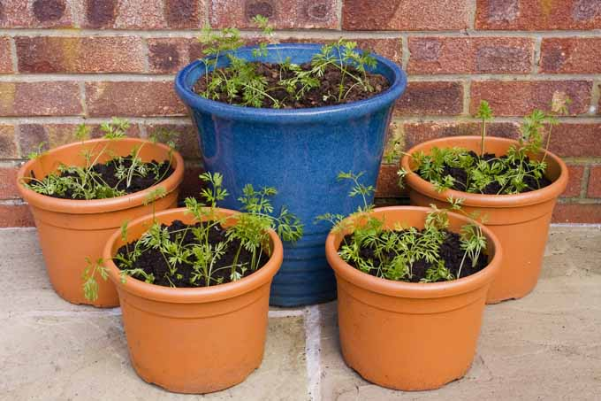 How to grow carrots in containers gardener 39 s path for Coltivare more in vaso