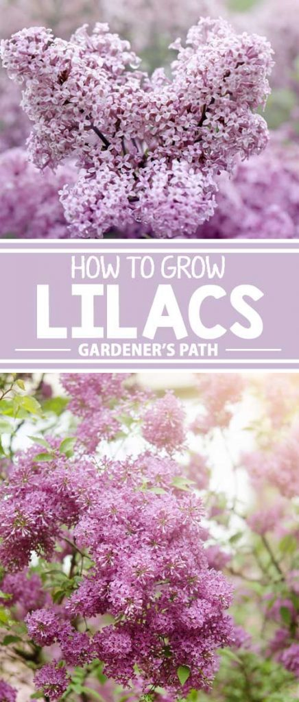 Have you always wondered how to grow this beautiful looking and brilliantly smelling flowering bush? If so, check out our guide and find out what you need to know. Fill your neighborhood with the sweet smell of lilacs now.