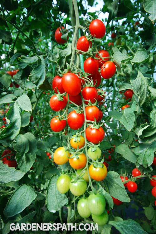 How to Grow Tomatoes From Seeds in Six Easy Steps | Gardenerspath.com