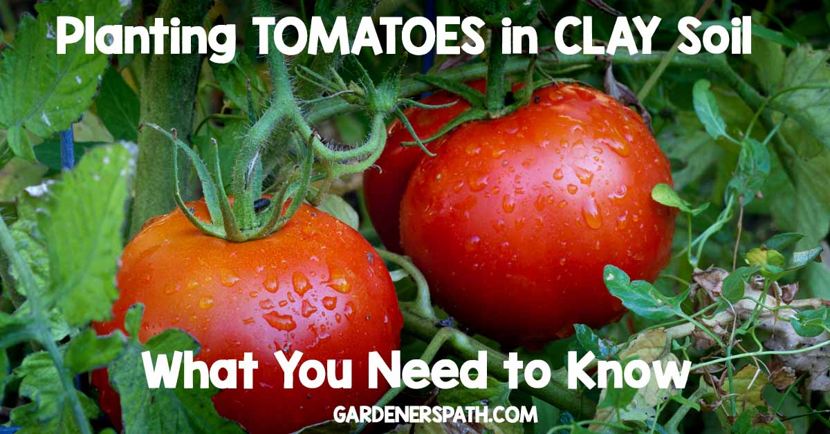 How To Plant Tomatoes In Clay Soil Gardner S Path