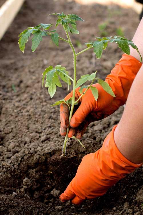 How to Plant a Tomato Seedling | Gardenerspath.com