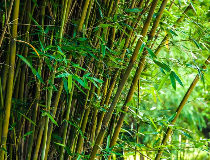 Bamboo can become invasive. A tall, thick stand of it is pictured here.
