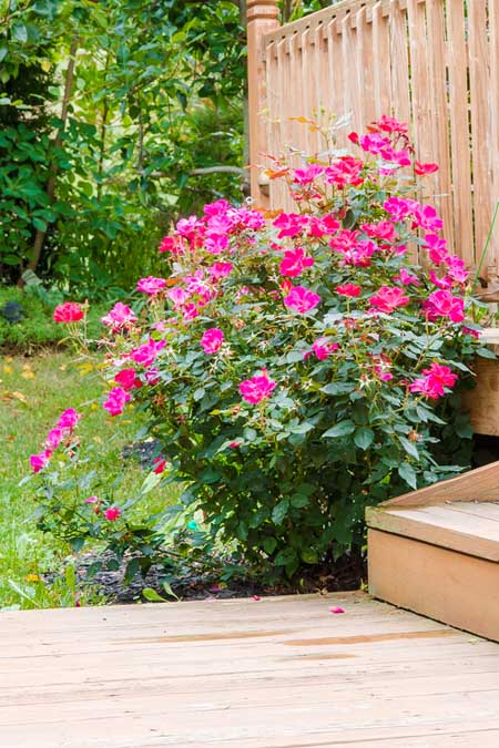 Pink Knockout roses, growing beside a wooden deck.