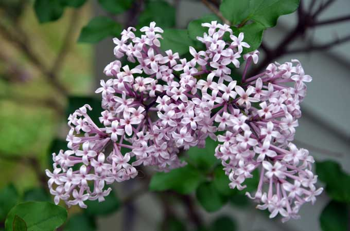 Korean Lilac | Gardener's Path