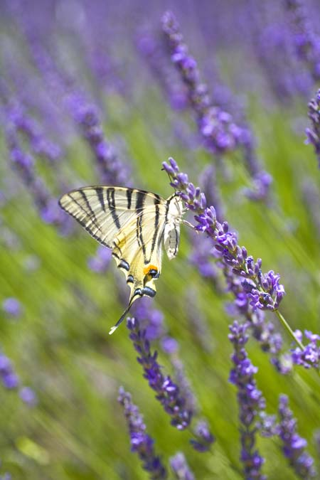 Besides being breathtaking to look at, and smelling great, lavender is one of the best flowering plants at attracting butterflies. However, there are some other great options out there. Find out what you need to know to attract these winged jewels to your yard now! https://gardenerspath.com/how-to/animals-and-wildlife/butterfly-bushes-small-gardens/