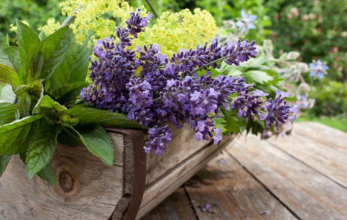 Lavender in a planter | GardenersPath.com