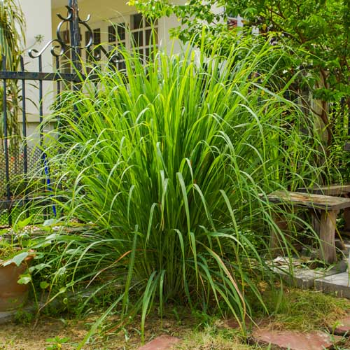A close up of a large lemongrass plant growing as an ornamental in front of a house.