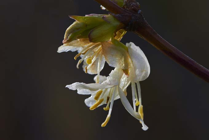 Lonicera Fragrantissima |GardenersPath.com