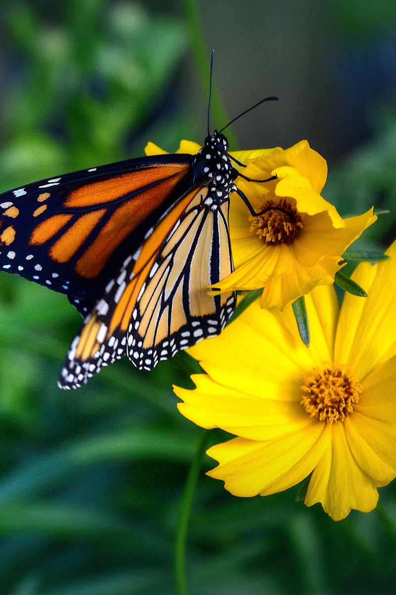 Monarch Butterfly on Yellow Coreopsis Flower