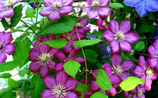 Best Non-Invasive Flowering Vines to Grow in the North