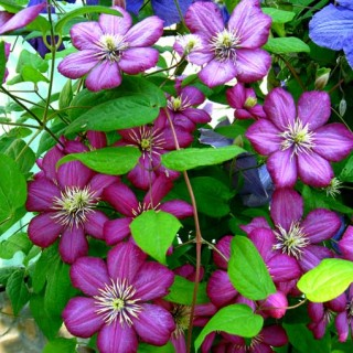 Mulit-color Clematis | GardenersPath.com