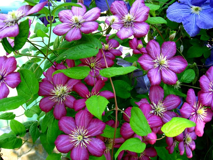 Best flowering vines for the northern us gardeners path mulit color clematis gardenerspath mightylinksfo