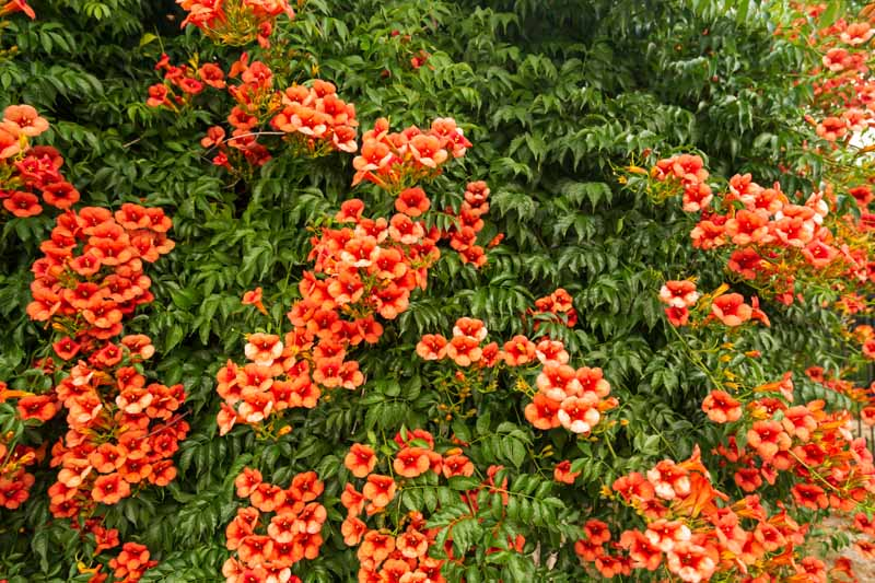 Red trumpet creeper vines climbing a wall.