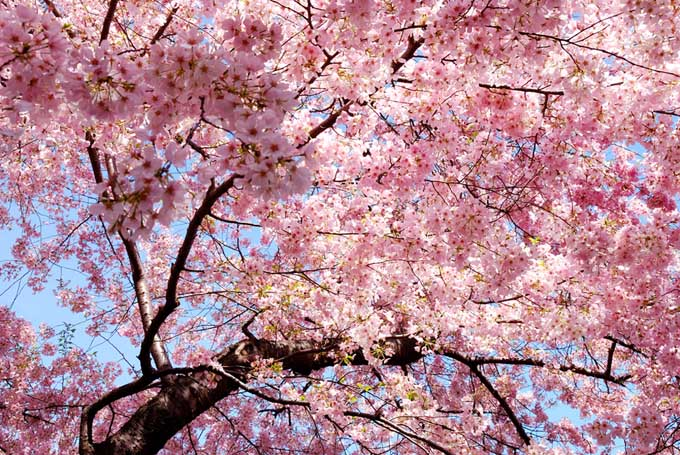 Looking up through the canopy of a tall 'Okame' cherry tree, covered in pink blooms.