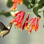 Orange Red Trumpet Honey Suckle with Humming Bird | GardenersPath.com