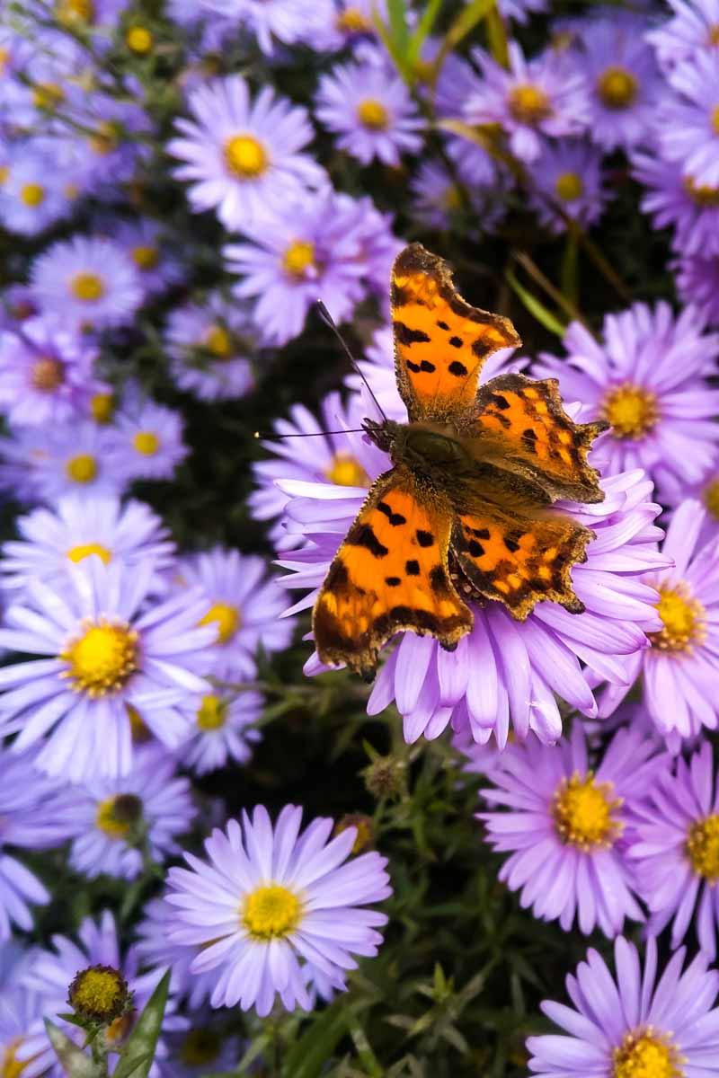Orange butterfly on a bed of purple chrysanthemums.