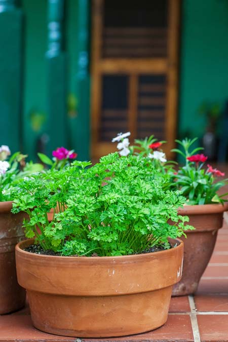 Parsley likes its feet wet! | GardenersPath.com