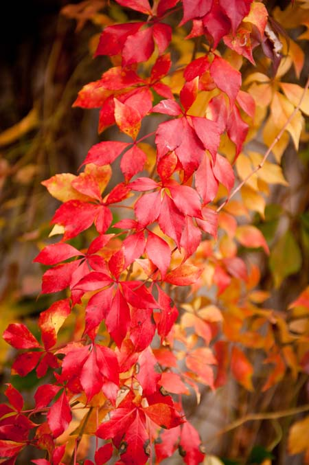 The vibrant red foliage of Parthenocissus quinquefolia, Virginia creeper vine.
