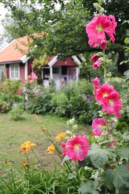 Hollyhocks in a cottage style planting | GardenersPath.com