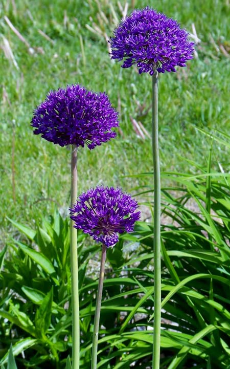 Persian Blue Alliums | GardenersPath.com