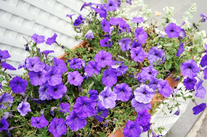 Violet Petunias in a window box.