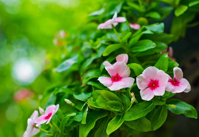 A close up of the bright pink flowers of the periwinkle, surrounded by green foliage on a soft focus background.