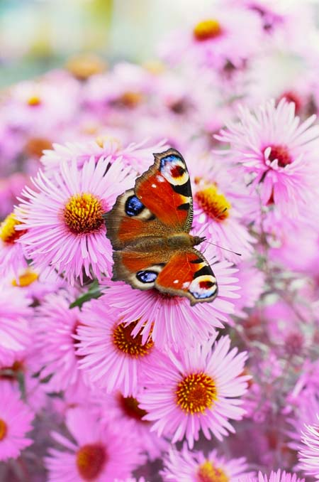 There's nothing as lovely as a field of pink asters. But did you know that they attract butterflies? Find out what other varieties attract these winged jewels now! https://gardenerspath.com/how-to/animals-and-wildlife/butterfly-bushes-small-gardens/