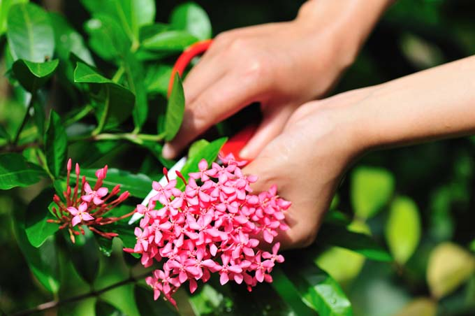 One hand clips a stem beneath a cluster of pink flowers while the other prepares to cut it with garden secateurs.