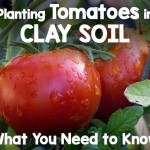 Planting Tomatoes in Clay Soil | Gardenerspath.com