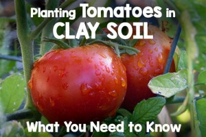 Planting Tomatoes in Clay Soil