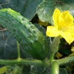 Planting Vin- Based Vegetables | GardenersPath.com