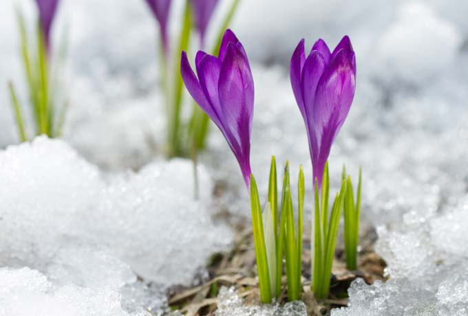Purple crocus with thin green leaves, pushing through the snow.