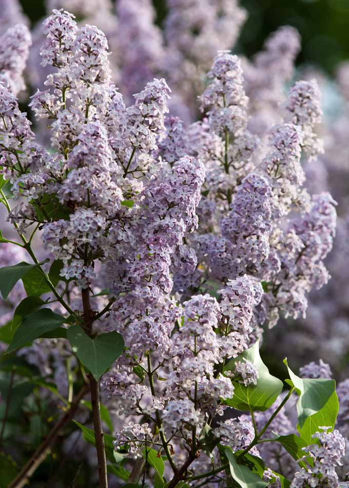 Nothing says summer like the sweet smell of lilacs. Find out what you need to know to grow the over 300 different varities with our guide now!