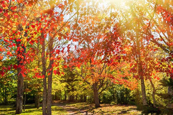 A yard full of red maples with a brilliant display of their autumn colors.