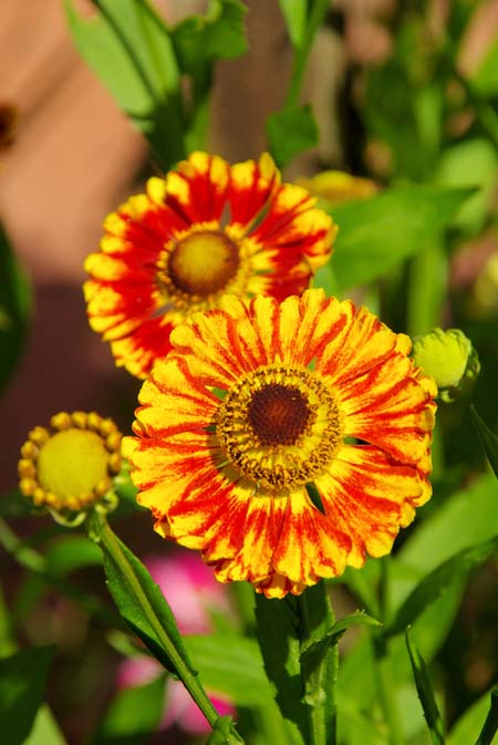Sneezeweed flowers, with red and yellow petals, and yellow and brown centers.