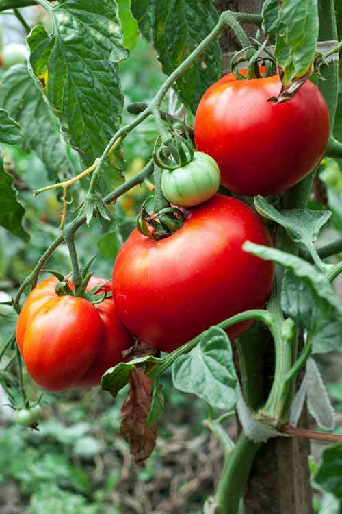How To Plant Tomatoes In Clay Soil Gardners Path