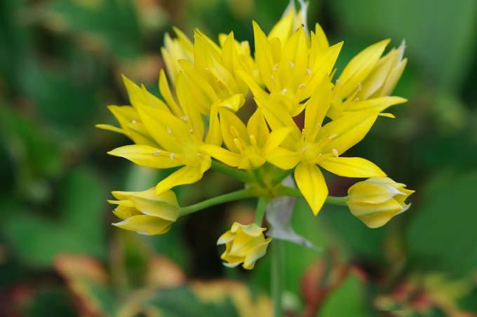 Sunny Twinkles Alliums | GardenersPath.com