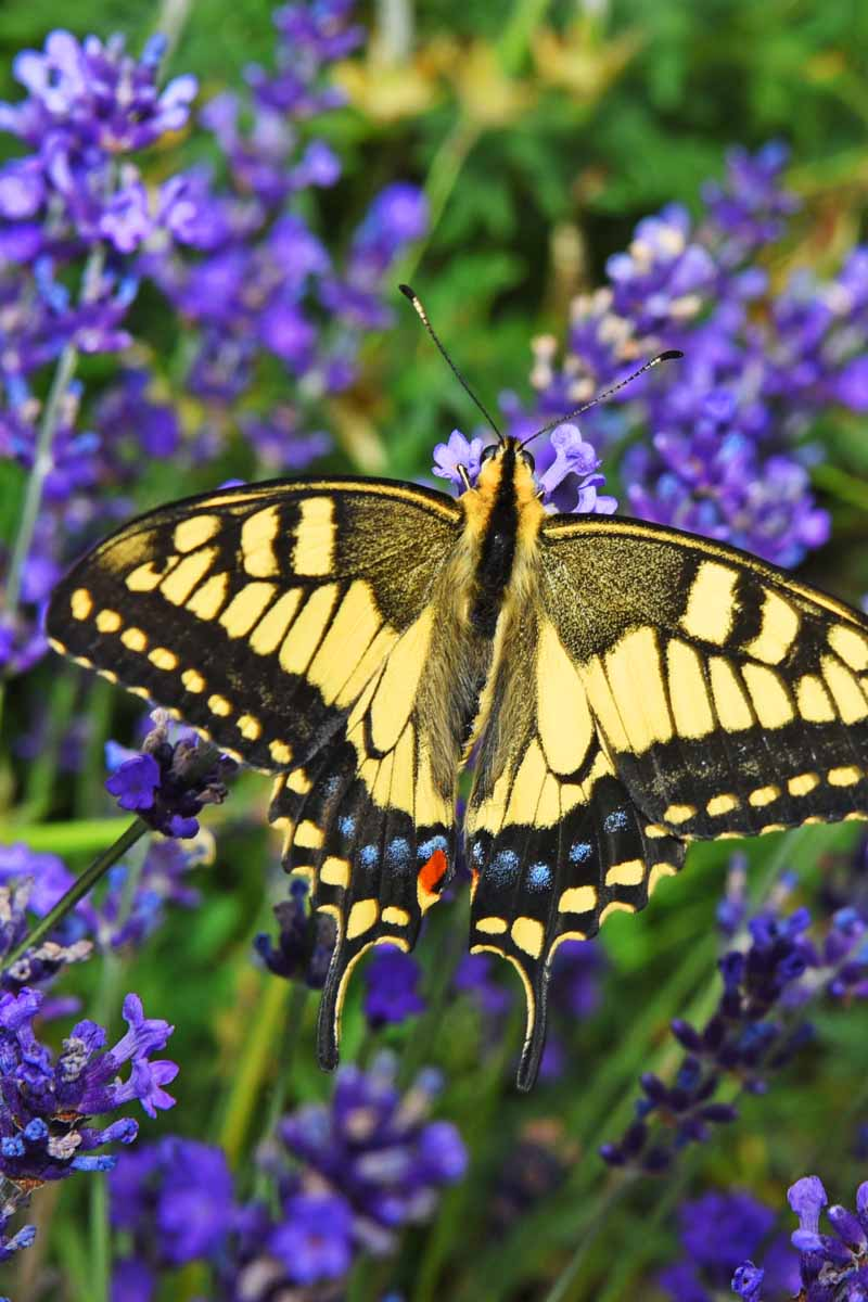 Swallowtail butterfly in a lavender field.