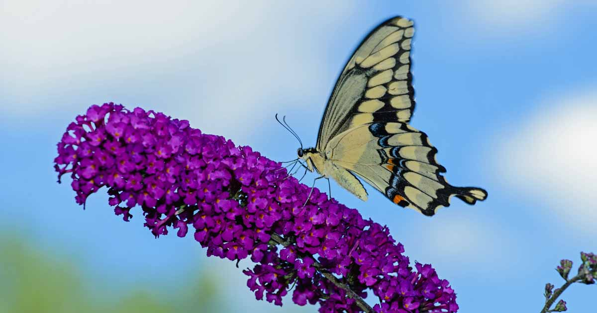 Best 6 Perennial Bushes to Attract Butterflies | Gardener's Path