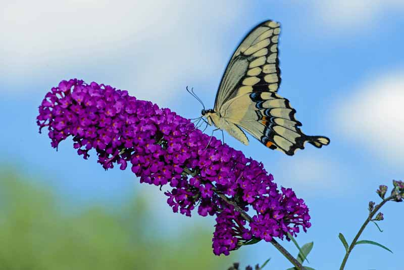 Swallowtail butterfly on a purple butterfly bush.