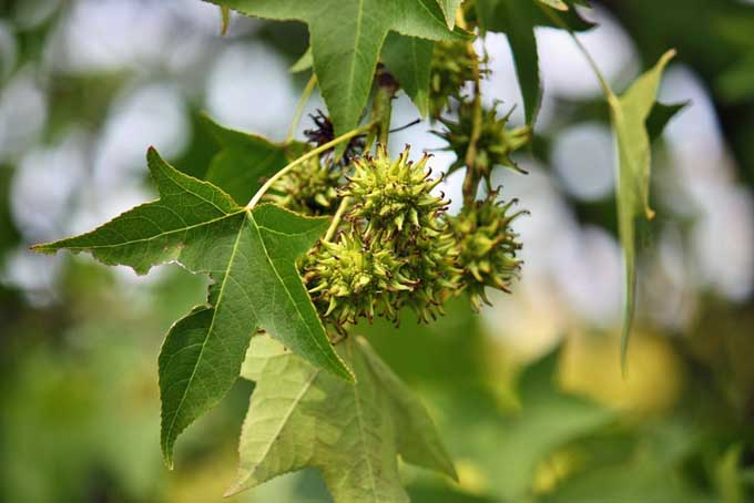 Closeup of the leaves and seedpods of the American Sweetgum or Sweet Gum tree.