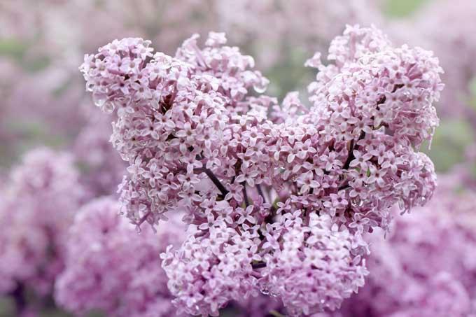 Syringa x meyeri 'Josee' Lilac | Gardener's Path