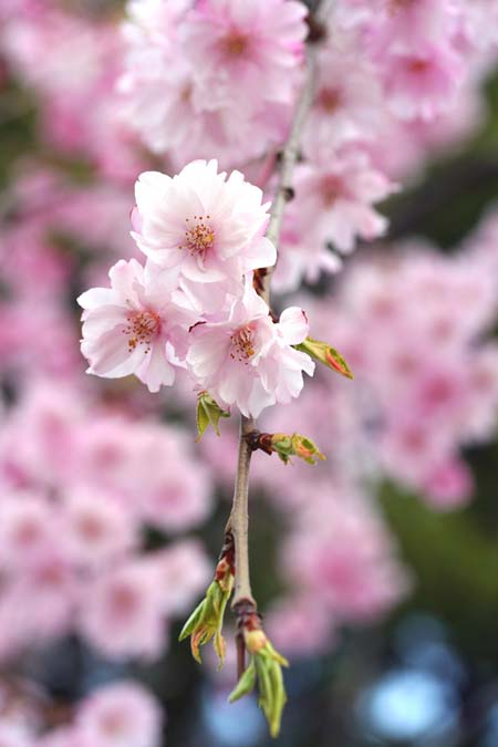 Three pink blooms of weeping cherry, on a branch with small green developing leaves.